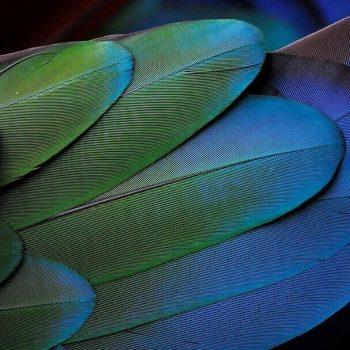 plumas de loro oshun