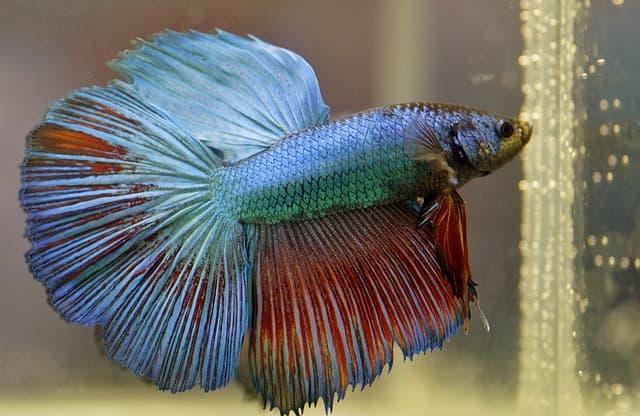 pez-peleador